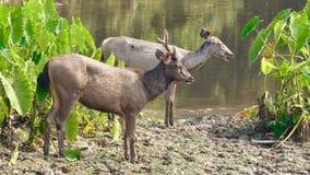 Deers Sambar που μένουν στον ποταμό απόθεμα βίντεο