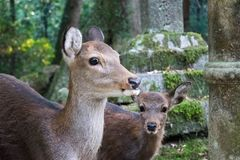 Deers at Shrine in Japan. Mom and baby deer at a Shrine in Nara, Japan. Hiding being some stone lanturns stock images