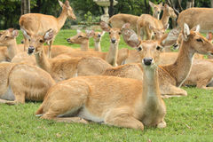 Deers sitting on the glass. Royalty Free Stock Photos