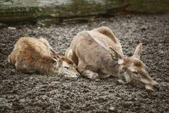 Deers Sleeping on the Ground Stock Photos