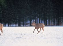 Deers on snow Royalty Free Stock Images