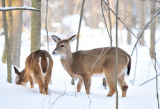 Deers in the snowy mountain Royalty Free Stock Photo
