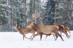 Deers som kör i snö mot landskap för vinter för vinterskogdjurliv säsongsbetonat Hjortar - cervuselaphus Arkivfoto