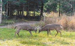 Deers som slåss i brunstperioden arkivbilder