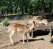 Deers. Some deers in a zoo Stock Photo