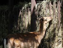 Deers. Some deers in a zoo Royalty Free Stock Photo