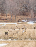 Deers during spring Stock Photography