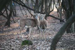Deers standing. Couple of deers standing in the forest Royalty Free Stock Photos