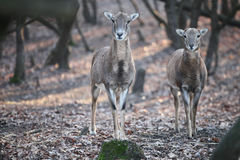 Deers. Standing in the forest looking in the  camera Stock Image