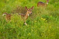 Deers StarinSpotted που ξυπνούν στο πράσινο πεδίο Στοκ Εικόνες