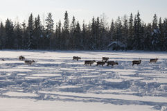 Deers in swedish Lapland Stock Images