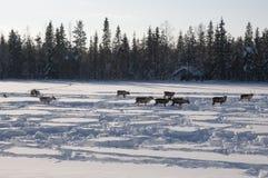 Deers in swedish Lapland Royalty Free Stock Image