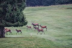 Deers. During their love season Royalty Free Stock Photo