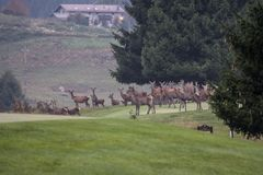 Deers. During their love season Stock Photo