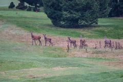 Deers. During their love season Stock Photography