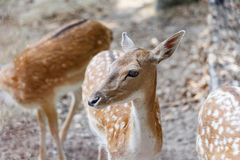 Wild deers Royalty Free Stock Images
