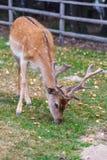 Wild deers Stock Photography
