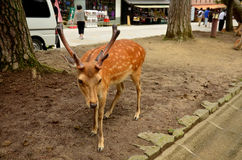 Deers at Todai-ji Temple in Nara Japan Royalty Free Stock Photo