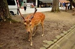 Deers at Todai-ji Temple in Nara Japan Royalty Free Stock Photo
