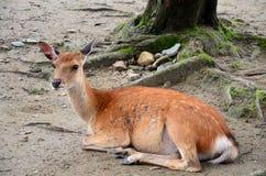 Deers at Todai-ji Temple in Nara Japan Stock Image