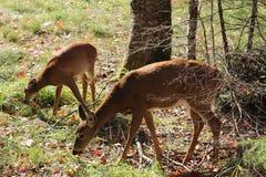 Deers. Two deers eating, did not mind seeing me very close Stock Photos