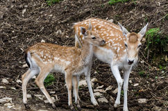 Deers. Two deers in the woods stock photos