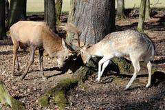 Deers Royalty Free Stock Images