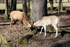 Deers Royalty Free Stock Photos