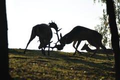 deers ugorów walczący siluet Zdjęcie Stock