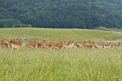 Deers in un'azienda agricola Fotografia Stock Libera da Diritti