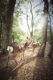 DEERS UNDER THE TREES Royalty Free Stock Images