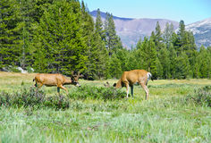 Deers in the valley. Wild nimals in one of the most famous National parks in California USA Stock Photography