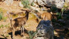 Deers van babykuiten in het bos stock video