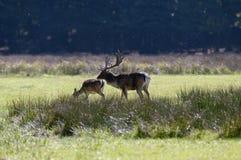 Deers van de braakakker in de Herfst. Stock Foto's