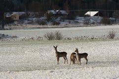 Deers van kuiten Stock Afbeeldingen