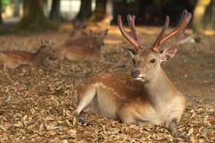 Deers van Nara Stock Foto's