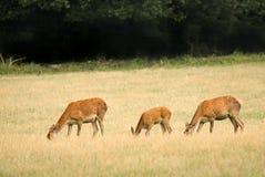 Deers vermelhos em um esclarecimento, pastando Foto de Stock Royalty Free