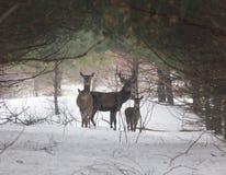 Deers w lesie Zdjęcia Royalty Free