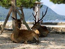 Deers w Miyajima bramie Obraz Stock