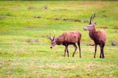 Deers w Richmond parku Zdjęcie Royalty Free