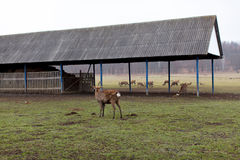 Deers walking in the territory of a deer farm. Summer green grass Royalty Free Stock Photos
