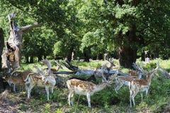 Deers weidt in bospark royalty-vrije stock fotografie