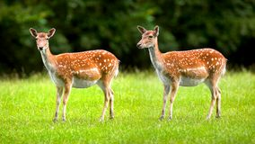 Deers  - wild doe Stock Photo