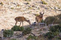 Deers. Wild deers on the mountain Royalty Free Stock Photo
