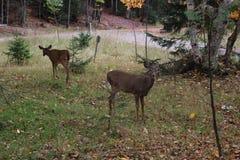 Deers. In the wild scene Royalty Free Stock Photo
