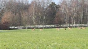 Deers wildlife stock video footage