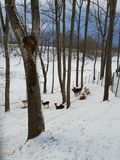Deers in winter landscape. Deers and does in winter royalty free stock photography