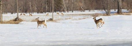 Deers during winter Stock Image