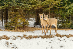 Deers in the winter (Omega Park of Quebec) stock images