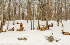 Deers in the winter (Omega Park of Quebec) Royalty Free Stock Image